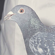 Pigeon with half-opened beak