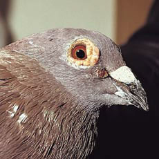 The head of a pigeon showing symptoms of pox at the beak and on the eyelid
