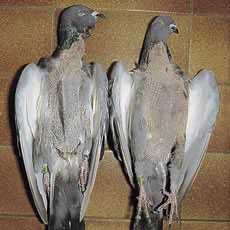 Dead pigeons, complete emaciated due to a massive worminfestation