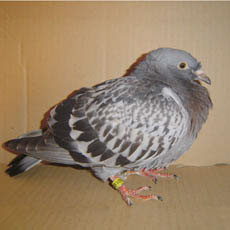 A young pigeon with puffed-up plumage suffering from YBS