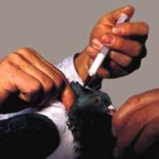 Vaccination of a pigeon